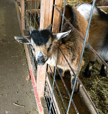 Baby goat is sticking his head out of his kennel