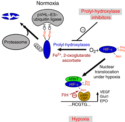 Hypoxia Inducible Factor and Anemia  - Renal Fellow Network
