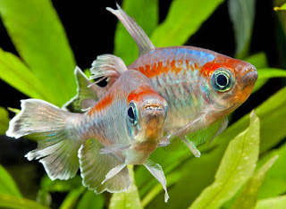 Congo Jenis Ikan Tetra Terpopuler