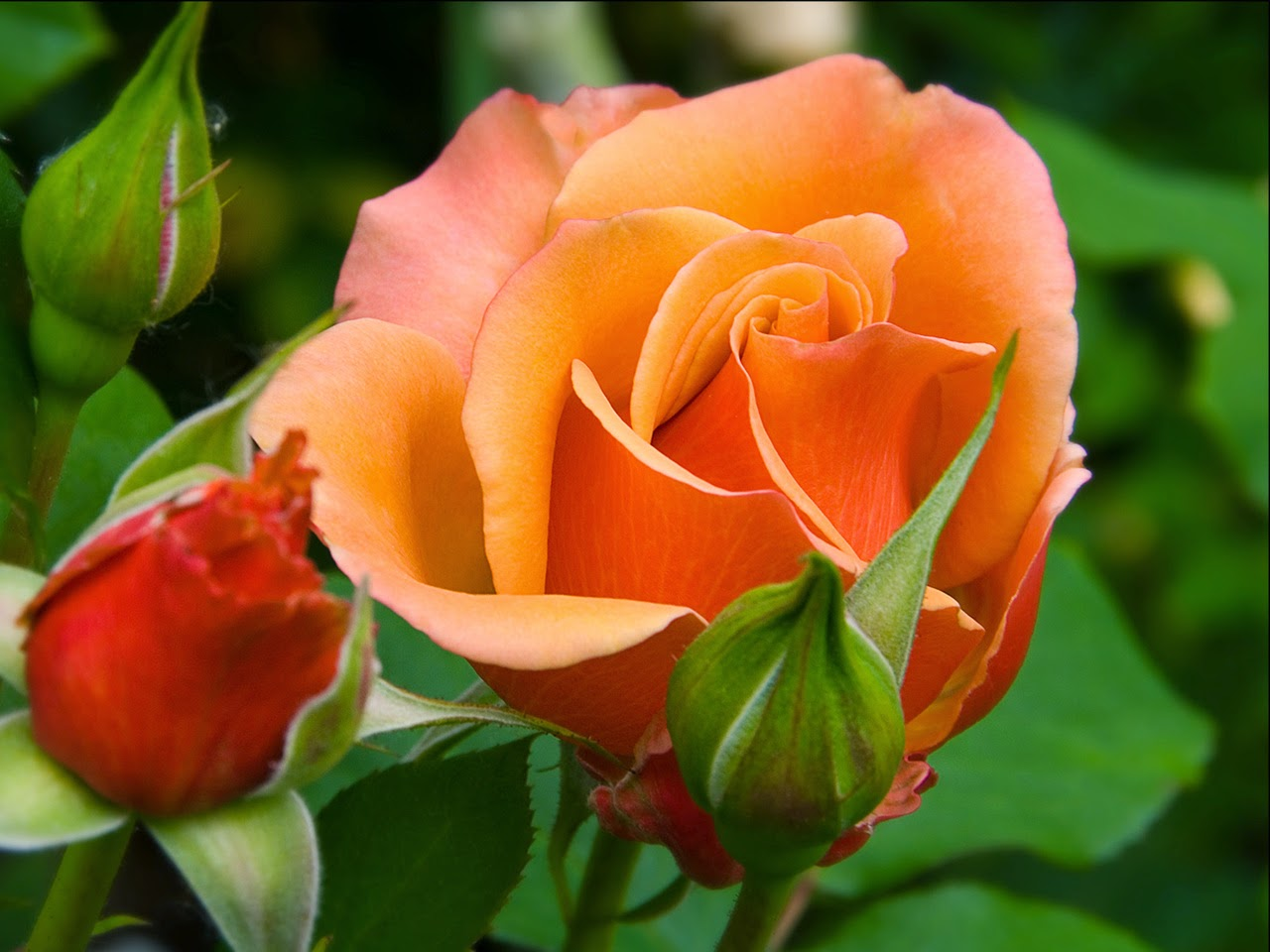 Beautiful Orange Colour Roses Flowers HD Wallpapers