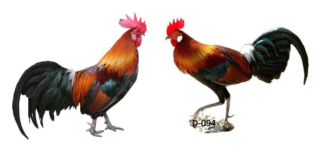 Arti Mimpi di Patuk Ayam Jantan