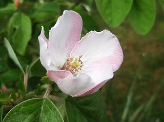 Flor del membrillero