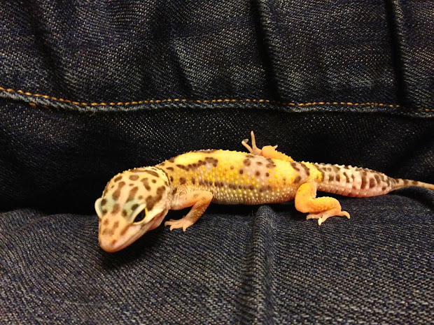 20+ Leopard Gecko Species Pictures and Ideas on Weric