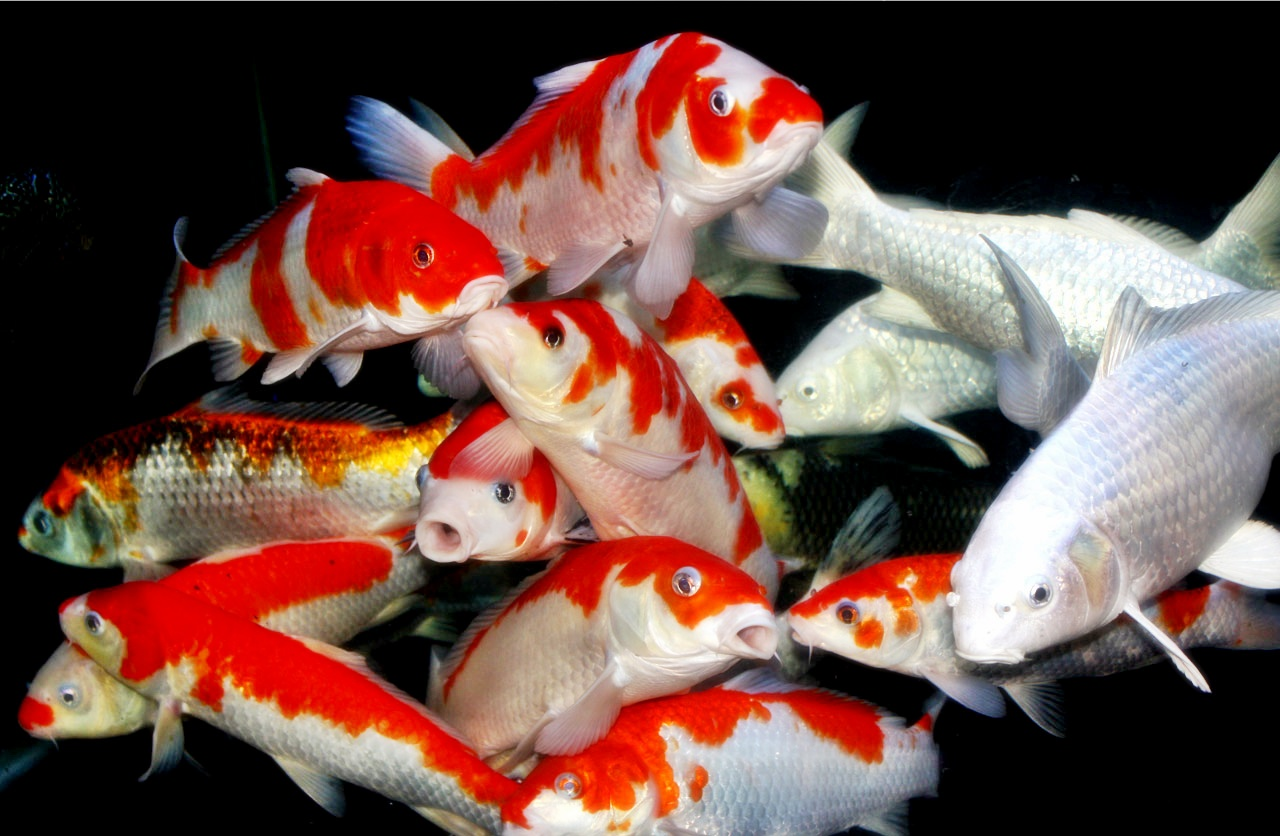 Penyakit pada ikan koi - Akuarium Ikan Hias