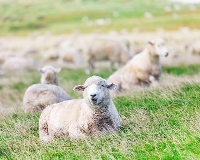 Sheep on land - eco-friendly alternatives to coats and jackets. Copyright: goodolga / 123RF Stock Photo