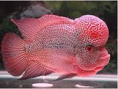 10 Ikan Hias Air Tawar Terindah Jenis Louhan
