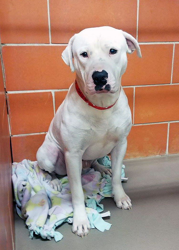 Safe Humane Chicago Court Case Dog Mambo needs a new home
