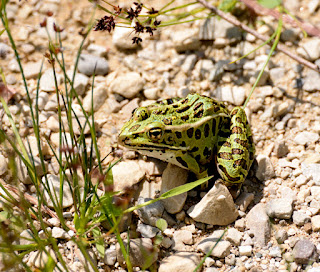 green leopard frog at Luther Marsh