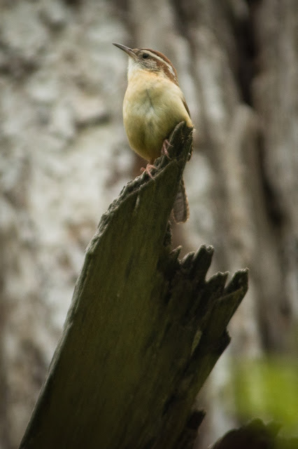 Carolina Wren, Colleyville Nature Center
