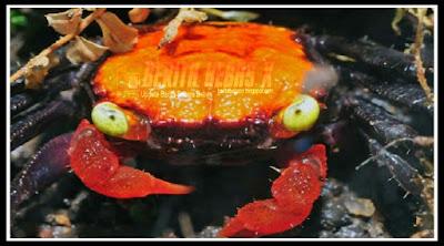 kepiting vampire, kepiting vampire, Fauna Air Cantik, Asal Pulau Jawa, Dalam Negeri, Indonesia, Penelitian, Sukses, Berita Bebas, Berita Terbaru, BeritaBebasX, Ulasan Berita,