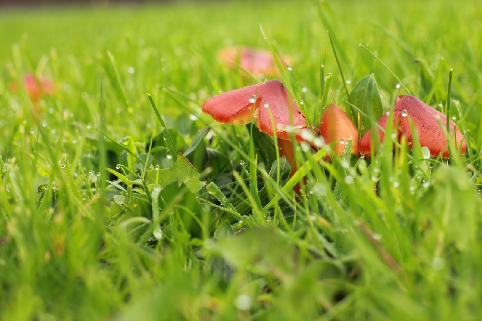 Red Wild Mushrooms JPG