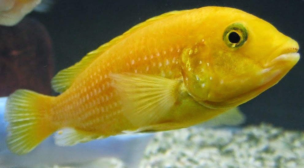yellow lab cichlid female yellow lab cichlid electric yellows yellow labidochromis