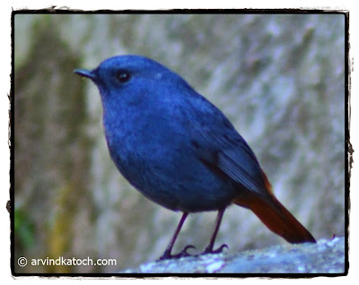 Plumbeous Water Redstart, Redstart, Male