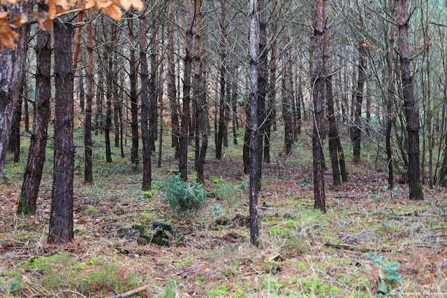 Jeunes pins en plantation serrée en forêt de Fontainebleau