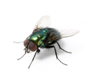 moscas verdes