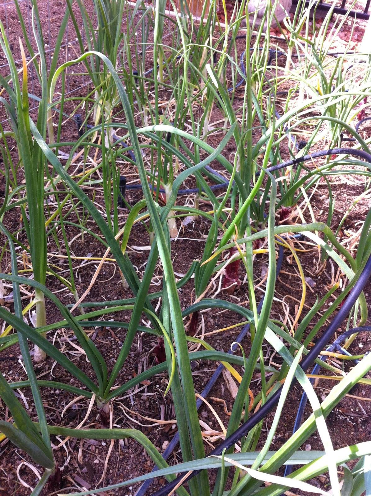 Desert Organic Farming: Alliums: Companion Plants and ... Leek Companion Plants