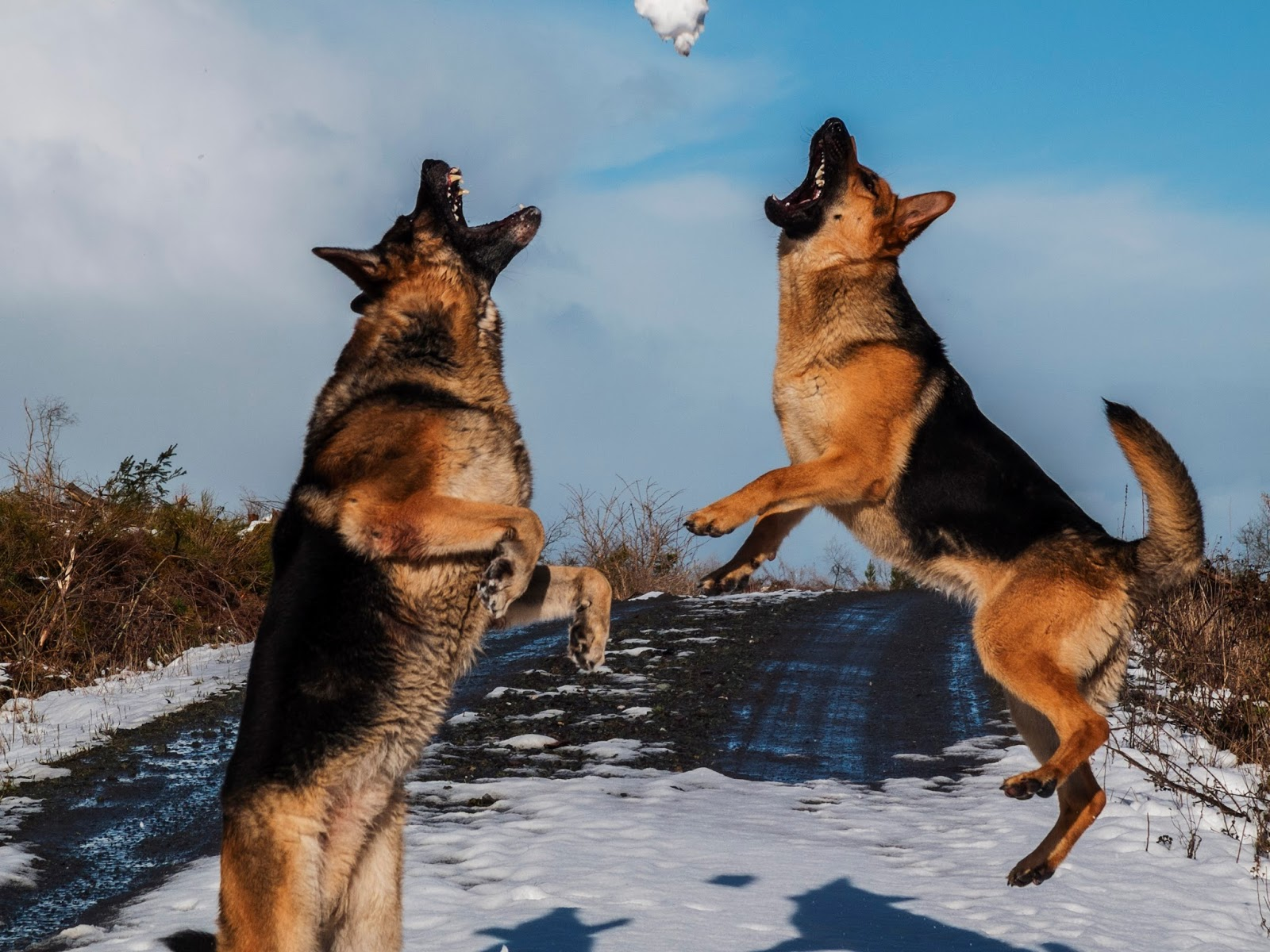 Two German Shepherds jumping and a snowball in mid air between them.
