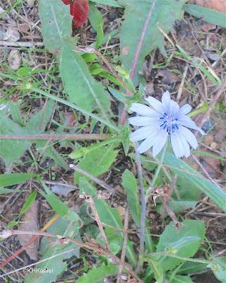 chicory, Cichorium intybus