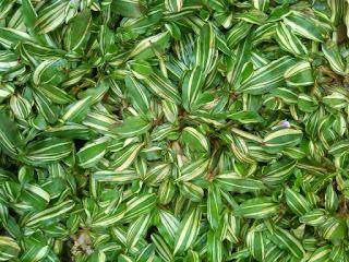 rumput varigata