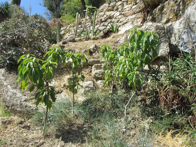 Euphorbia pulcherrima in Estate