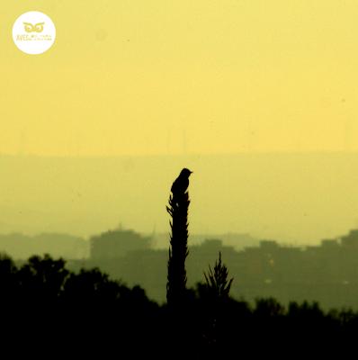 Cistícola buitrón (Cisticola juncidis) en la Reserva Natural Dirigida de los Galachos del Ebro