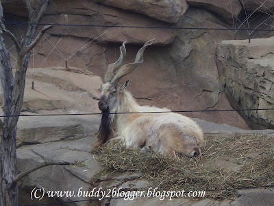 Markhor image poster picture