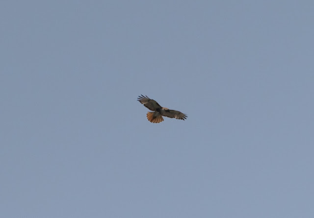 Red-tailed Hawk - Mead Botanical Garden, Florida