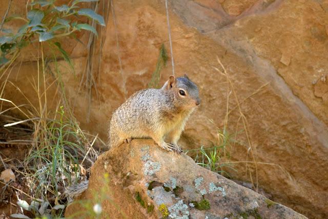 Белка. Национальный парк Зайон, Юта