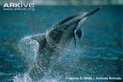 Delfín de pico largo Stenella longirostris