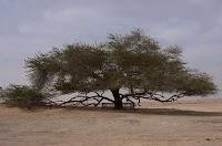 شجرة الحياة (البحرين) معجزة البقاء في الصحراء