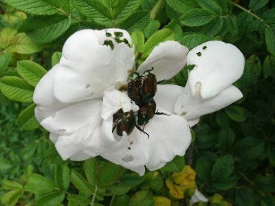 Japanese beetles on white rose Rosetta McClain gardens by garden muses: a Toronto gardening blog