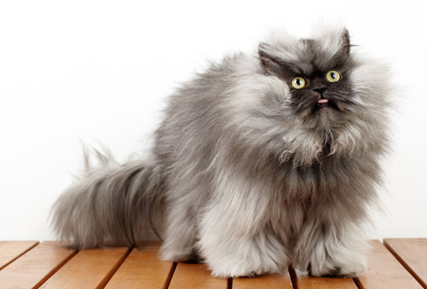Colonel Meow, The Holder Of Guinness World Record For Longest Cat Hair-1