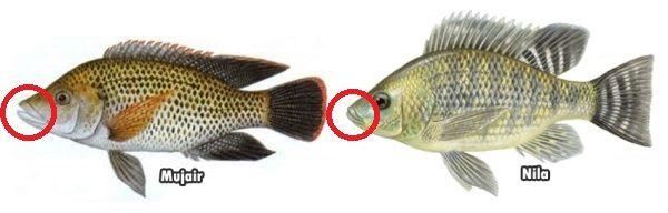 Gambar Perbedaan Ikan Nila Dan Mujair Pada Mulut