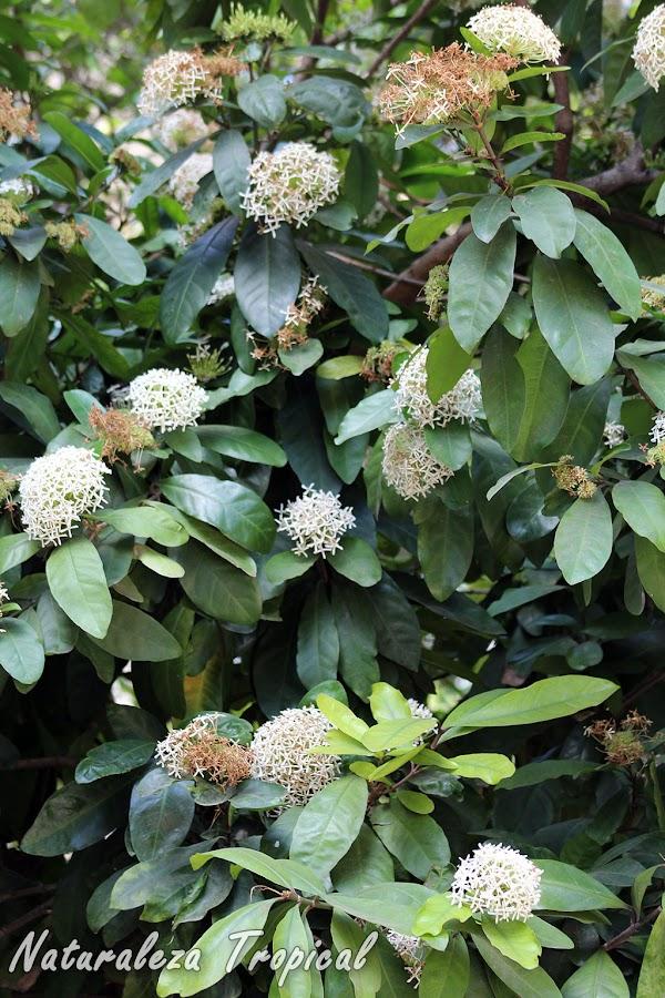 Vista del arbusto Corona de Novia o Ixora Blanca, Ixora finlaysoniana