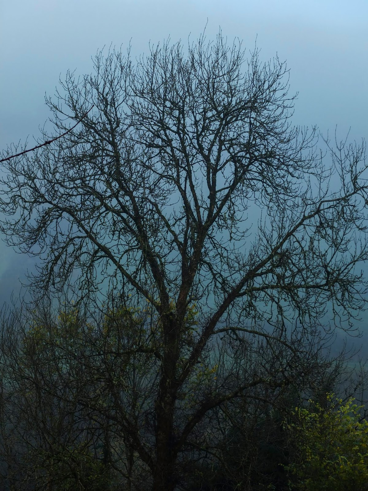 A bare Ash tree wrapped in a thick fog in North County Cork.