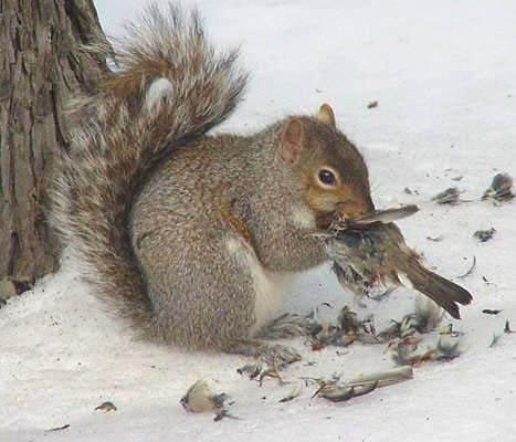 "TYWKIWDBI (""Tai-Wiki-Widbee""): Squirrel eating a bird"