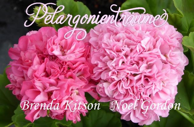 Rosenpelargonie-rosa-pink-rosé
