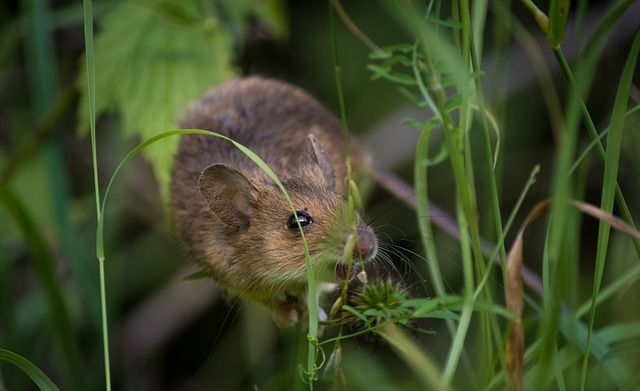 Cara Mengusir Hama Tikus Dengan Cepat Tanpa Racun