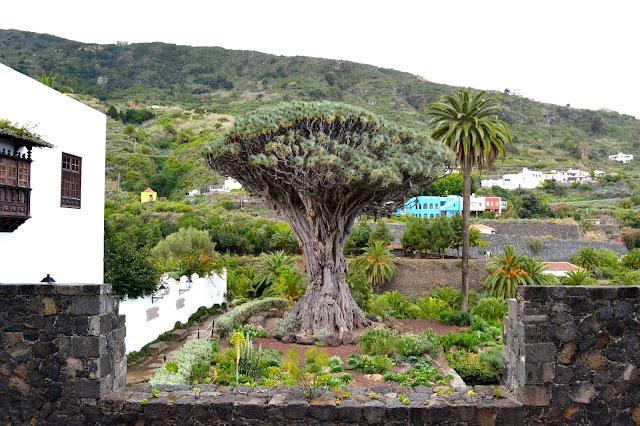 drago milenario Icod de los Vinos Tenerife islas canarias