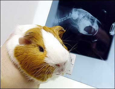 R Guinea Pigs Rodents Funny Guinea Pig photo...