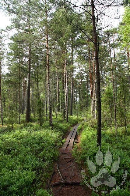 Suede-Smaland-Store-Mosse-foret-coniferes-kasvjon