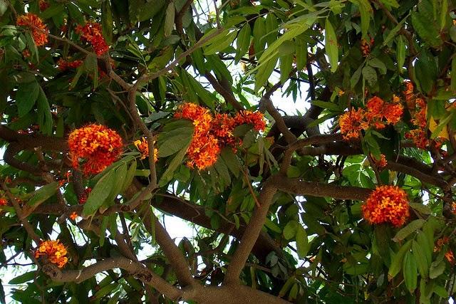 Ashoka Tree: Facts & Medicinal Uses