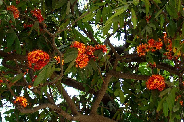 Image result for ashoka tree
