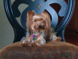 My sister Jennifer's Yorkie, Ringo - July 11, 2011