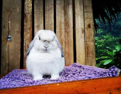Cara menjaga kesehatan Kelinci yang baik dan benar