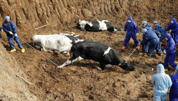 Niegan brote de fiebre aftosa en Armenia