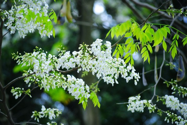 There are two kinds of flowers are hatched in March in Hanoi, they are the grapefruit flowers and white sua flowers