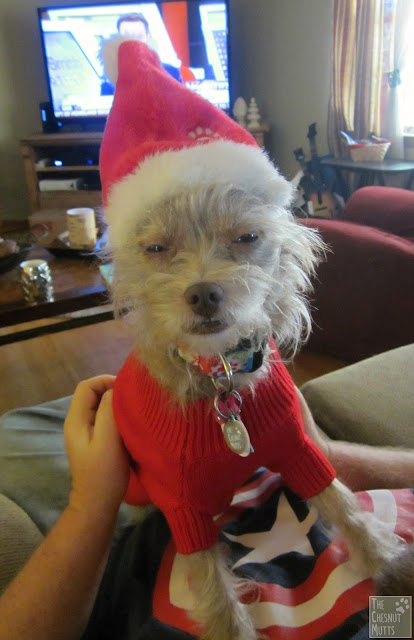 Bailey being grumpy in a santa hat