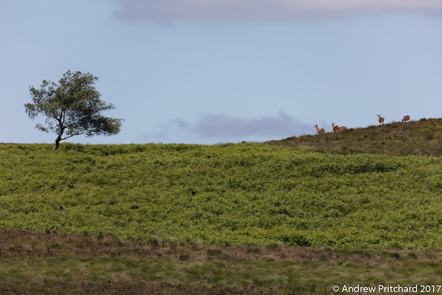 Five hinds walk along a grassy hill top towards a solitary moorland tree.