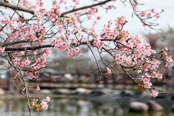 芬園花卉生產休憩園區河津櫻、洲府枝垂櫻花隧道、水池造景好好拍